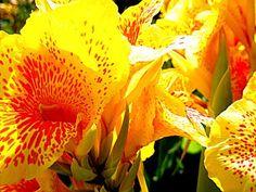 Canna lily  Cuma 10rb dpt 5 benih  sms / wa 085777119992 line id : silkynazma