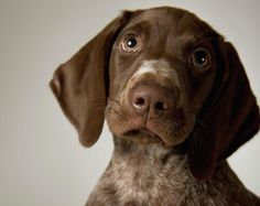 German Short-haired Pointer Puppy, Close-up Photograph  - German Short-haired Pointer Puppy, Close-up Fine Art Print