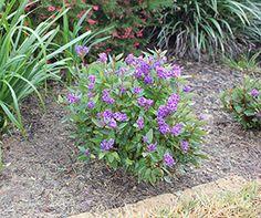 MINI MEEMA™ Hardenbergia is a compact shrub