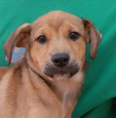 Peggy is a baby girl who feels shy around people, but instantly blooms with a playful spirit when another dog is present.  We expect she will grow to medium or large size, a Retriever & Shepherd mix puppy, about 3 months of age, now spayed and debuting for adoption at Nevada SPCA (www.nevadaspca.org).    You may recall Peggy's four siblings who were adopted last week:  http://nevadaspca.blogspot.com/2015/07/amadeus-beethoven-maggie-and-sandra.html