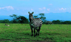 Lake Nakuru National Park_zebra