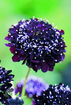 Buy sweet scabious Scabiosa atropurpurea 'Black Knight' - Opulent colour for the border: Delivery by Crocus Black Flowers, Purple Roses, Pretty Flowers, Gothic Garden, Amazing Flowers, Dream Garden, Trees To Plant, Beautiful Gardens, Flower Power