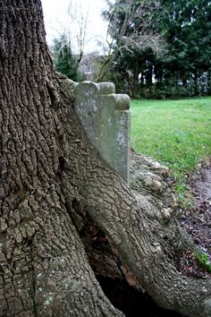 Must Be over 21! OWNED since 1995 His 1989 NSFW — sixpenceee:   A tombstone overgrown by a tree....