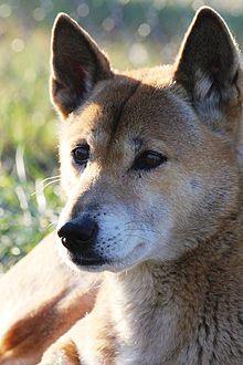 New Guinea singing dog - Wikipedia, the free encyclopedia