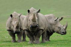 Livingstone - Katalog zájezdů <b>&hellip;</b> Livingstone - Afrika - Asie <b>&hellip; Jungle Animals, Animals And Pets, Baby Animals, Cute Animals, Wild Animals, Asian Rhino, Rhino Pictures, South Africa Wildlife, White Rhinoceros