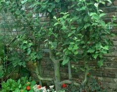 www.rustica.fr - Vidéo - Planter un poirier palissé en U