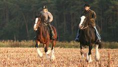 Hare Hill Shire - Infos zum Shire Horse