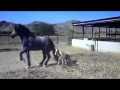 This video shows natural horse behavior and body language. The video is being used under the fair use act and is for educational and critique purposes. Any a...