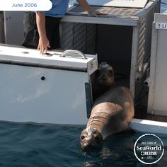 This seal was rescued and returned to her ocean home by SeaWorld. Before her return, scientists attached a transmitter that allowed them to monitor her progress. #365DaysOfRescue