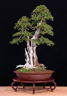 kevin_willson_bonsai_0_7