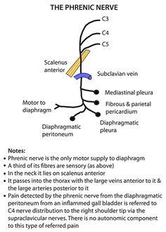 Instant Anatomy - Thorax - Nerves - Phrenic