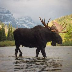 Hell gorgeous! Mr. Moose just passing through Two Medicine Lake in Glacier National Park.