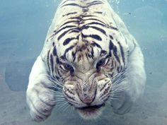 White Tiger from Scenic Reflections