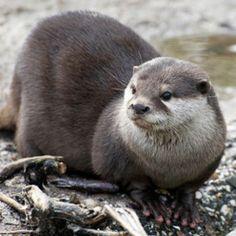 Otter © pixonaut/istockphoto
