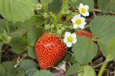 Лучший эликсир для клубники в период цветения | У-Дачный канал советы от Арины | Яндекс Дзен