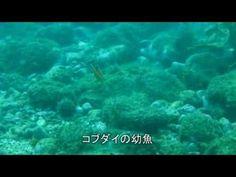 コブダイの幼魚