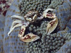 The spotted anemone crab or porcelain crab (Neopetrolisthes maculatus) is hanging out on a sea anemone.