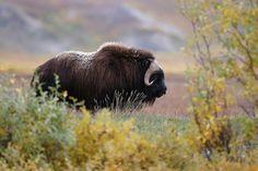 Arctic Muskoxen