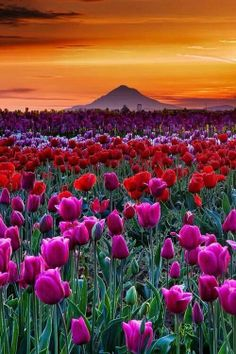Tulip fields forever