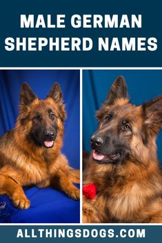 The best dog names showcase the amazing qualities of your individual pet. Male German Shepherds are known for their kindness, intelligence, strength or resilience. And thus we've used these qualities to come up with this list of male German Shepherd names. Check it out!  #germanshepherdnames #malegermanshepherdnames #namesforagermanshepherd German Shepherd Names Male, German Dog Names, German Dogs, German Shepherds, Dog Names Male, Best Dog Names, The Good German, Cute Names, Strength