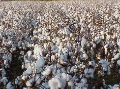 cotton - Google Search