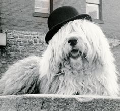old english sheepdog being funny - Google Search