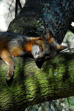fox sleeping in a tree