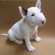 I love puppies, baby bull terrier