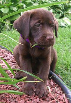 Oh how I love Chocolate Labradors
