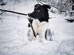"""Gefällt 100 Mal, 16 Kommentare - Lausbuampfoten (@caesarthebordercollie) auf Instagram: """"Guten Morgen meine Freunde, was für eine kälte draußen - mega Frost. Wir waren gestern nach der…"""" Border Collies, Husky, Dogs, Animals, Instagram, Cold, Good Morning, Friends, Animales"""