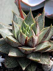 Echeveria X purpusorum | por cactiphobia