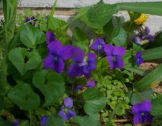 Sweet Violets (Viola odorata).