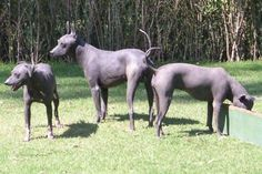 "The Xoloitzcuintli (pronounced ""show-low-eats-queen-tlee""), also known as the Tepeizeuintli, the Pelon, the Bald Dog, Perro sin Pelo Mexicano, the Mexican Hairless or simply the Xolo (""show-low""), is one of the oldest and rarest of all domestic dog breeds. It was first developed in ancient Aztec civilizations, where it was used as a watchdog, guard dog, companion and food source for tribal peoples. Most Xolos are hairless ."