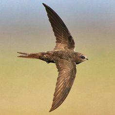 Vencejo común, Common swift (Apus apus) Estival y en migración
