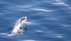 Penguins Underwater. #Antarctica Learn more about Antarctica cruises: http://www.atlastravelweb.com/Cruises/Destinations/antarctica.html