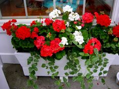 It is not necessary that you must have to choose a fancy flower box. You can pick some traditional and pretty flower boxes to display beautiful flowers and make your outdoor charming. Window Box Plants, Window Box Flowers, Window Boxes, Container Plants, Container Gardening, Amazing Flowers, Beautiful Flowers, Camden Maine, Flower Names