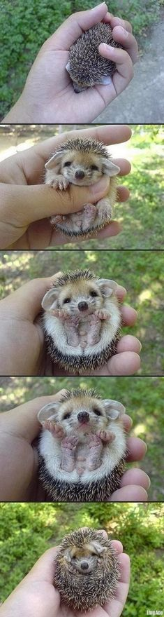 Baby Hedgehog! I want one!!