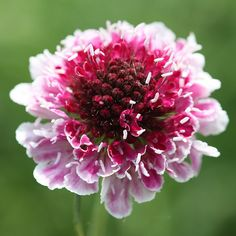 Buy pincushion flower Scabiosa 'Burgundy Bonnets ('Scabon') (PBR)': Delivery by Crocus