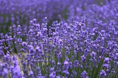 How To Prune Lavender Plant To Promote More Flowers - I Love Herbalism Growing Lavender, Growing Herbs, Lavender Flowers, Purple Flowers, Natural Mosquito Repellant, Mosquito Repelling Plants, Herb Garden, Vegetable Garden, Comment Planter