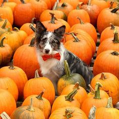 """Pumpkins, pumpkins and more pumpkins! We love it!"" writes @cooper the blue merle bc. #dogsofinstagram #pet #animals #instagood #cute #photooftheday"