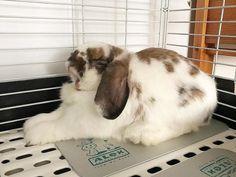 """: ""Bunny yoga ♂️. Did I do it right, @thesmlbuns?"" [13.3.2018] #cheecheongfun_the_bun #hollandlop #sgpets #sgbuns #bunny #rabbit #lapin #兔 #bunstagram #rabbitstagram #bunniesofinstagram #rabbitsofinstagram #bunniesworldwide #rabbitsworldwide #dailyfluff #weeklyfluff #feature_do2 #cutepetshots #cutepetclub #bunnysnoot #fabbunnies #hungrybunsfp #tiffosclub"""
