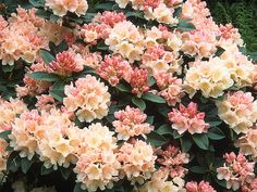 Rhododendron  A reliable plant that needs partial shade and well-drained or moist acidic soil to thrive, evergreen rhododendrons provide dense walls of color year-round. 'Golden Torch,' shown here, is popular for its flowers, which emerge as salmon-pink buds and open to funnel-shaped, pale creamy-yellow blooms. 'Kure-no-yuki,' a dwarf at 3 feet tall and 3 feet wide, produces clusters of pure white flowers in mid-spring.