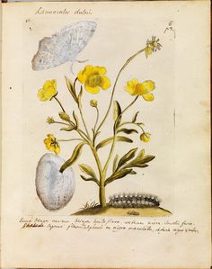 https://flic.kr/p/nYjVXg | Erucarum ortus - Maria Sibylla Merian e | For more background etc about this great scientific work of the early 18th century by Maria Sibylla Merian, please see: bibliodyssey.blogspot.com/2014/07/erucarum-ortus.html