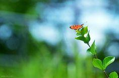 Blomst, Sommerfugl, Insekt, Vinge