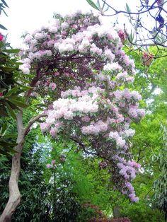 1000 images about rhododendron on pinterest shrubs. Black Bedroom Furniture Sets. Home Design Ideas