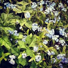 @janettesvn Instagram photos   #forgetmenots #HampsteadHeath #flora #springflowers #wildflowers #signsofspring #paleblue #Hampstead #NW3 #London #instalondon
