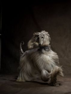 Afghan Hound -- Thick, silky hair is typical of dogs bred in high altitudes -- in this case, Afghanistan. The Afghan hound's long locks require upkeep, but paired with an independent spirit and dignified personality, the end result is dashing.