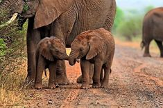 This photo of two baby African elephants, holding trunks is a great example of how social these animals really are.