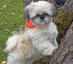 Tyla the Shih Tzu Pictures 206345