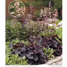 This perennial has dark purple foliage that stands out in containers or at the front of the border.